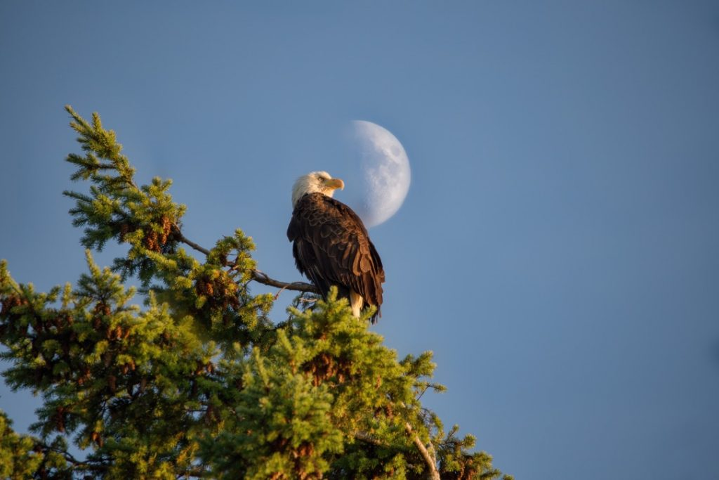 Photo by Chris Straw of an eagle in front of the moon