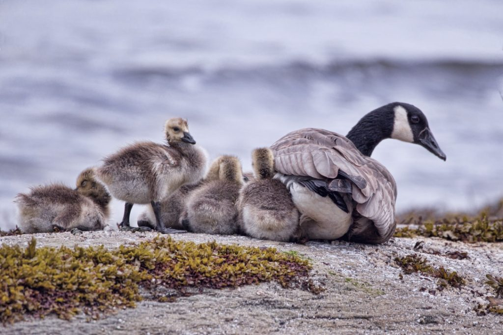 Mother Canadian goose and goslings